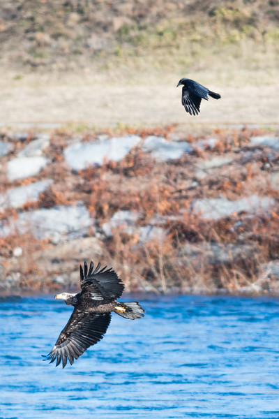 Bald Eagle with American Crow