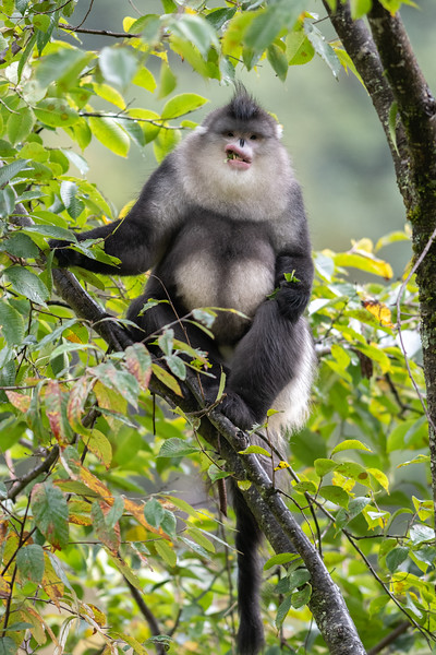 Yunnan Snubnosed Monkey 鎮金絲猴