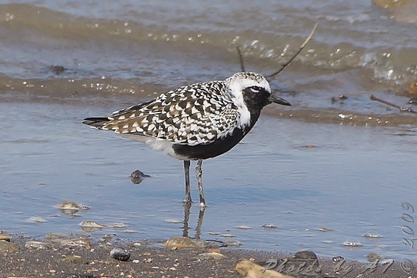 "Mudflats: Plovers: <span style=""color:#fff; background:#333;"">Black-bellied Plover</span>  <br><span class=""showLBtitle"">                                                                                         </span> Riverlands Migratory Bird Sanctuary <br> St. Charles County, Missouri <br> <a href=""/Birds/2009-Birding/Birding-2009-May/2009-05-12-RMBS/i-hkD9PtJ"">2009-05-12</a> <br> <br> My 1st Missouri photo, species #246 <br> 2009-05-12 15:32:10 <br> <div class=""noshow"">See #246 in photo gallery <a href=""/Birds/2009-Birding/Birding-2009-May/2009-05-12-RMBS/i-X2XvJnQ"">here</a></div>"