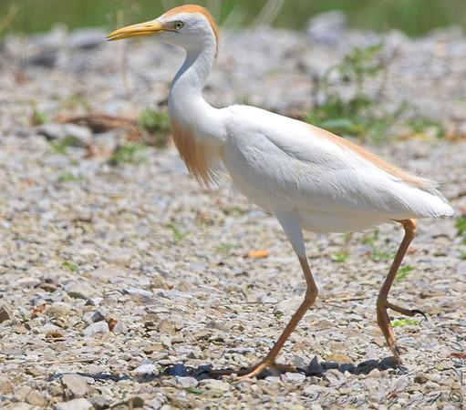 "Marsh Birds: Egrets: <span style=""color:#fff; background:#333;"">Cattle Egret</span>  <br><span class=""showLBtitle"">                                             </span> Columbia Bottom Conservation Area <br> St. Louis County, Missouri <br> <a href=""/Birds/2008-Birding/Birding-2008-June/2008-06-07-09-10-Multi-areas/i-XGvbsrB"">2008-06-07</a> <br> <br> My 1st Missouri photo, species #191  <br> 2008-06-06 11:53:38 <br> <div class=""noshow"">See #191 in photo gallery <a href=""/Birds/2008-Birding/Birding-2008-June/2008-06-06-Bridgeton-Bottoms/i-nsg94Ch"">here</a></div>"