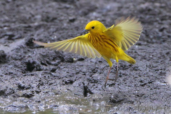 """Wood-Warblers: <span style=""""color:#fff; background:#333;"""">Yellow Warbler </span> <br><span class=""""showLBtitle"""">                                             </span> Columbia Bottom Conservation Area <br> St. Louis County, Missouri <br> <a href=""""/Birds/2012-Birding/Birding-2012-May/2012-05-26-Columbia-Bottom-CA/i-FfsKPD6"""">2012-05-26</a> <br> <br> My 1st Missouri photo, species #98 <br> 2006-05-07 13:53:04 <br> <div class=""""noshow"""">See #98 in photo gallery <a href=""""/Birds/2006-Birding/Birding-2006-May/2006-05-07-Creve-Coeur-Marsh/i-GDkxnxW"""">here</a></div>"""