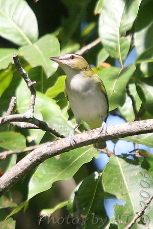 """Vireos: <span style=""""color:#fff; background:#333;"""">Red-eyed Vireo </span> <br><span class=""""showLBtitle"""">                                             </span> Busch Wildlife Conservation Area <br> St. Charles County, Missouri <br> <a href=""""/Birds/2006-Birding/Birding-2006-September/2006-09-14-Busch-Wildlife/i-P3DXxrh"""">2006-09-14</a> <br> <br> My 1st Missouri photo, species #107 <br> 2006-05-21 14:46:21 <br> <div class=""""noshow"""">See #107 in photo gallery <a href=""""/Birds/2006-Birding/Birding-2006-May/2006-05-21-St-Stanislaus/i-rncMWPB"""">here</a></div>"""