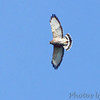 """Birds of Prey: Buteos: <span style=""""color:#fff; background:#333;"""">Broad-winged Hawk</span>  <br><span class=""""showLBtitle"""">                                             </span> ASM Fall Meeting <br> Saline Valley Conservation Area <br> Miller County, Missouri <br> <a href=""""/Birds/2011-Birding/Birding-2011-September/2011-09-24-Saline-Valley-CA/i-TQnXSJG"""">2011-09-24</a> <br> <br> My 1st Missouri photo, species #290 <br> 2010-09-25 10:08:39 <br><div class=""""noshow"""">  See #290 in photo gallery <a href=""""/Birds/2010-Birding/Birding-2010-September/2010-09-25-ASM/i-TLvV4FT"""">Here</a></div>"""