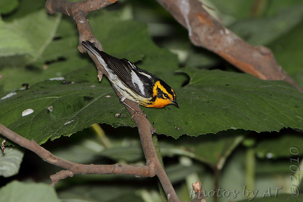 """Wood-Warblers: <span style=""""color:#fff; background:#333;"""">Blackburnian Warbler </span> <br><span class=""""showLBtitle"""">                                             </span> Tower Grove Park<br> St. Louis, Missouri <br> <a href=""""/Birds/2010-Birding/Birding-2010-May/2010-05-09-Lincoln-Shields-TGP/i-Js7J4Pb"""">2010-05-09</a> <br> <br> My 1st Missouri photo, species #171 <br> 2007-05-08 10:02:26 <br> <div class=""""noshow"""">See #171 in photo gallery <a href=""""/Birds/2007-Birding/Birding-2007-May/2007-05-08-Kenedy-Forest-and/i-ffcnB7v"""">here</a></div>"""