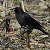 """Blackbirds: <span style=""""color:#fff; background:#333;"""">American Crow</span>  <br><span class=""""showLBtitle"""">                                             </span> Columbia Bottom Conservation Area <br> St. Louis County, Missouri <br> <a href=""""/Birds/2012-Birding/Birding-2012-January/2012-01-24-CBCA-RMBS/i-6gbZBTM"""">2012-01-24</a> <br> <br> My 1st Missouri photo, species #146 <br> 2006-11-13 14:23:25 <br> <div class=""""noshow"""">See #146 in photo gallery <a href=""""/Birds/2006-Birding/Birding-2006-November/2006-11-13-Riverlands/i-74fjVmC"""">Here</a></div>"""