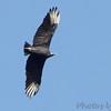 "Birds of Prey: Vultures: <span style=""color:#fff; background:#333;"">Black Vulture</span>  <br><span class=""showLBtitle"">                                             </span> Boat ramp below Table Rock Dam <br> Lake Taneycomo <br> Taney County, Missouri <br> <a href=""/Birds/2010-Birding/Birding-2010-September/2010-09-28-ASM/i-h7cBHC2"">2010-09-28</a> <br> <br> My 1st Missouri photo, species #258 <br> 2009-07-30 09:01:07 <br> <div class=""noshow"">See #258 in photo gallery <a href=""/Birds/2009-Birding/Birding-2009-July/2009-07-30-Taneycomo-Lake-Area/i-Vv4Msd3"">Here</a></div>"