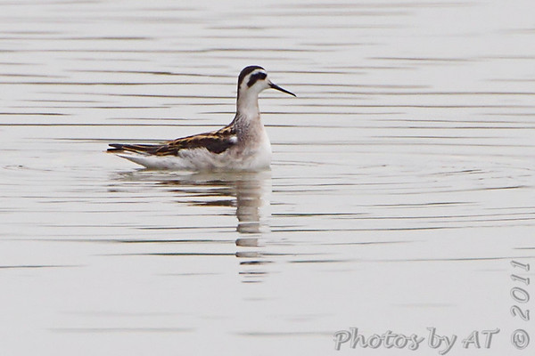 "Mudflats: Phalarope: <span style=""color:#fff; background:#333;"">Red-necked Phalarope</span>  <br><span class=""showLBtitle"">                                                                                         </span> Pipeline pool <br> Confluence Point State Park <br> St. Charles County, Missouri <br> <a href=""/Birds/2011-Birding/Birding-2011-September/2011-09-10-Confluence-Point-SP/i-fjmrwGD"">2011-09-10</a> <br> <br> My 1st Missouri photo, species #200 <br> 2008-08-10 13:12:29 <br> <div class=""noshow"">See #200 in photo gallery <a href=""/Birds/2008-Birding/Birding-2008-August/2008-08-10-Hwy-79-Corridor/i-FmDcN8x"">here</a></div>"
