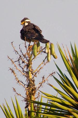 Falcon, Aplomado