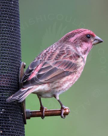 Finch, Purple