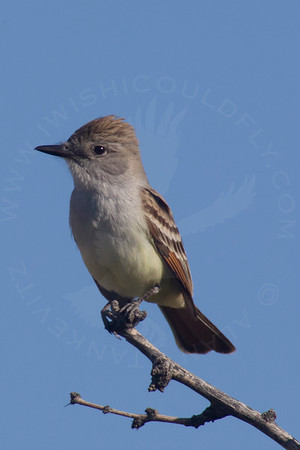Flycatcher, Ash-Throated
