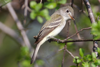 Flycatcher, Least
