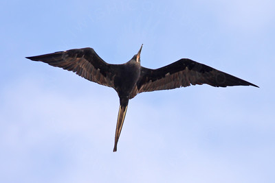 Frigatebird, Magnificent