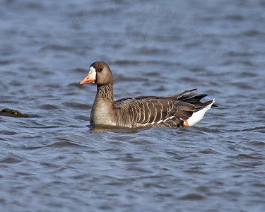 Goose, Greater White-Fronted