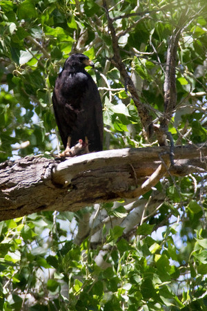 Hawk, Black