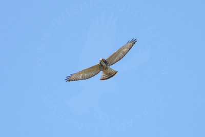 Hawk, Broad-Winged