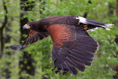 Hawk, Harris's
