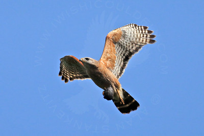 Hawk, Red-Shouldered