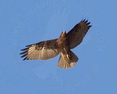 Hawk, Red-Tailed [Dark Morph]