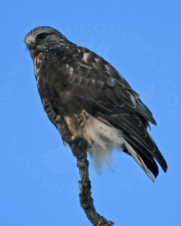 Hawk, Rough-Legged