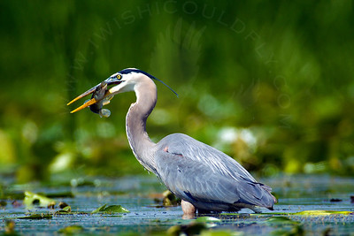Heron, Great-Blue [Fishing]