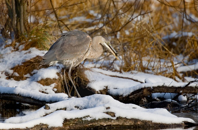 Heron, Great Blue [Misc.]