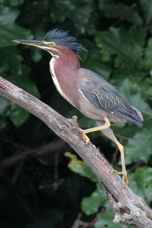 Heron, Green
