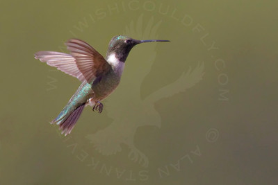 Hummingbird, Black-Chinned