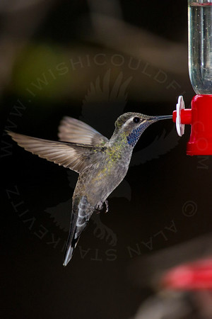 Hummingbird, Blue-Throated