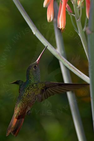 Hummingbird, Buff-Bellied