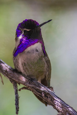 Hummingbird, Costa's
