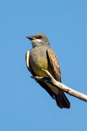 Kingbird, Cassin's