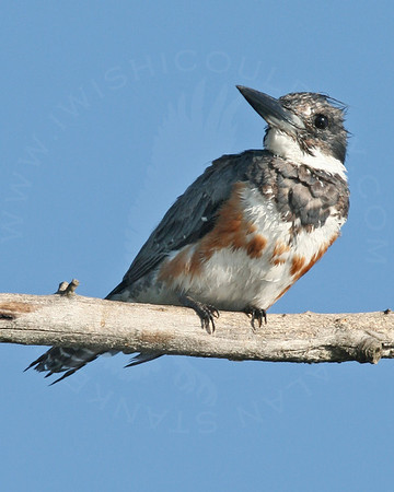 Kingfisher, Belted