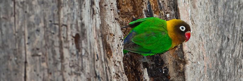 Hybrid Lovebird (Agapornis fischeri X A. personatus)