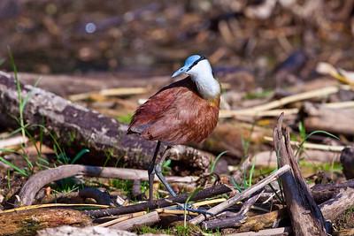 African Jacana; August 30, 2012; Lake Baringo, Kenya