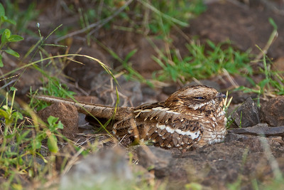 Slender-tailed Nightjar; September 1, 2012; Lake Baringo area, Kenya