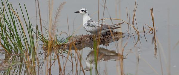 White-winged Black Tern; September 3, 2012; Lake Nakuru National Park, Kenya