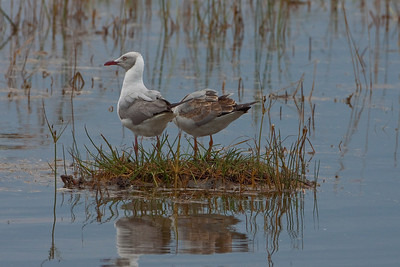Grey-headed Gull; September 3, 2012; Lake Nakuru National Park, Kenya