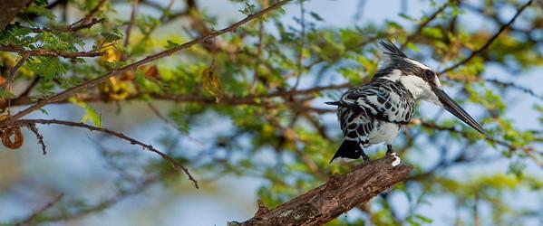 Pied Kingfisher; August 31, 2013; Lake Baringo, Kenya