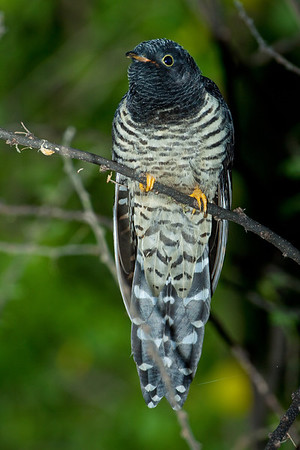Great Spotted Cuckoo; September 1, 2012; Lake Baringo, Kenya