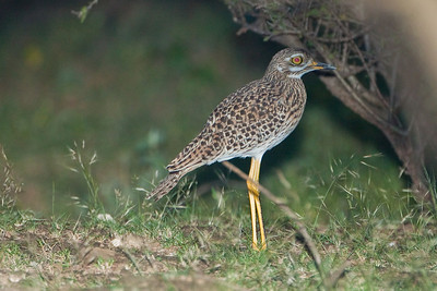 Spotted Thick-Knee; September 1, 2012; Lake Baringo area, Kenya