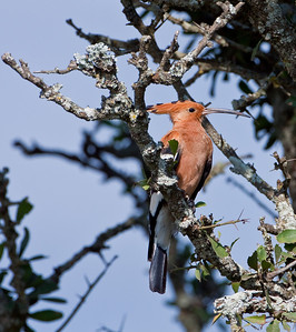 Hoopoe; September 3, 2012; Lake Nakuru National Park, Kenya