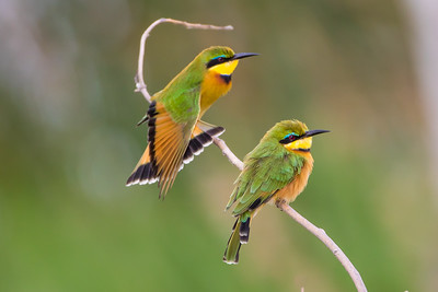 Little Bee-eaters (Merops pusillus)
