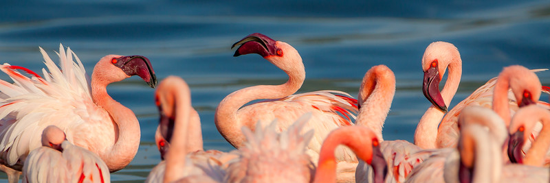 Lesser Flamingos (Phoenicopterus minor)
