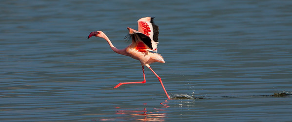 Lesser Flamingo; August 31, 2012; Lake Bagoria National Preserve, Kenya