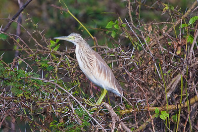 Squacco Heron; September 6, 2012; Lake Nivasha, Kenya