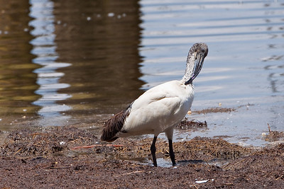 Sacred Ibis; September 3, 2012; Lake Nakuru National Park, Kenya