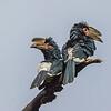 Trumpeter Hornbills (Bycanistes bucinator)