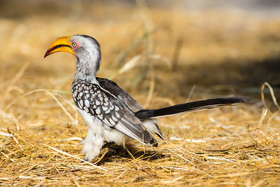 Southern Yellow-billed Hornbill (Tockus leucomelos)