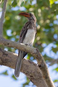 Bradfield's Hornbill (Tockus bradfieldi)