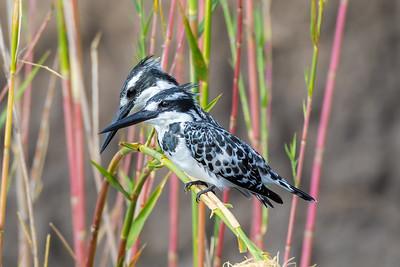 Pied Kingfishers (Ceryle rudis)